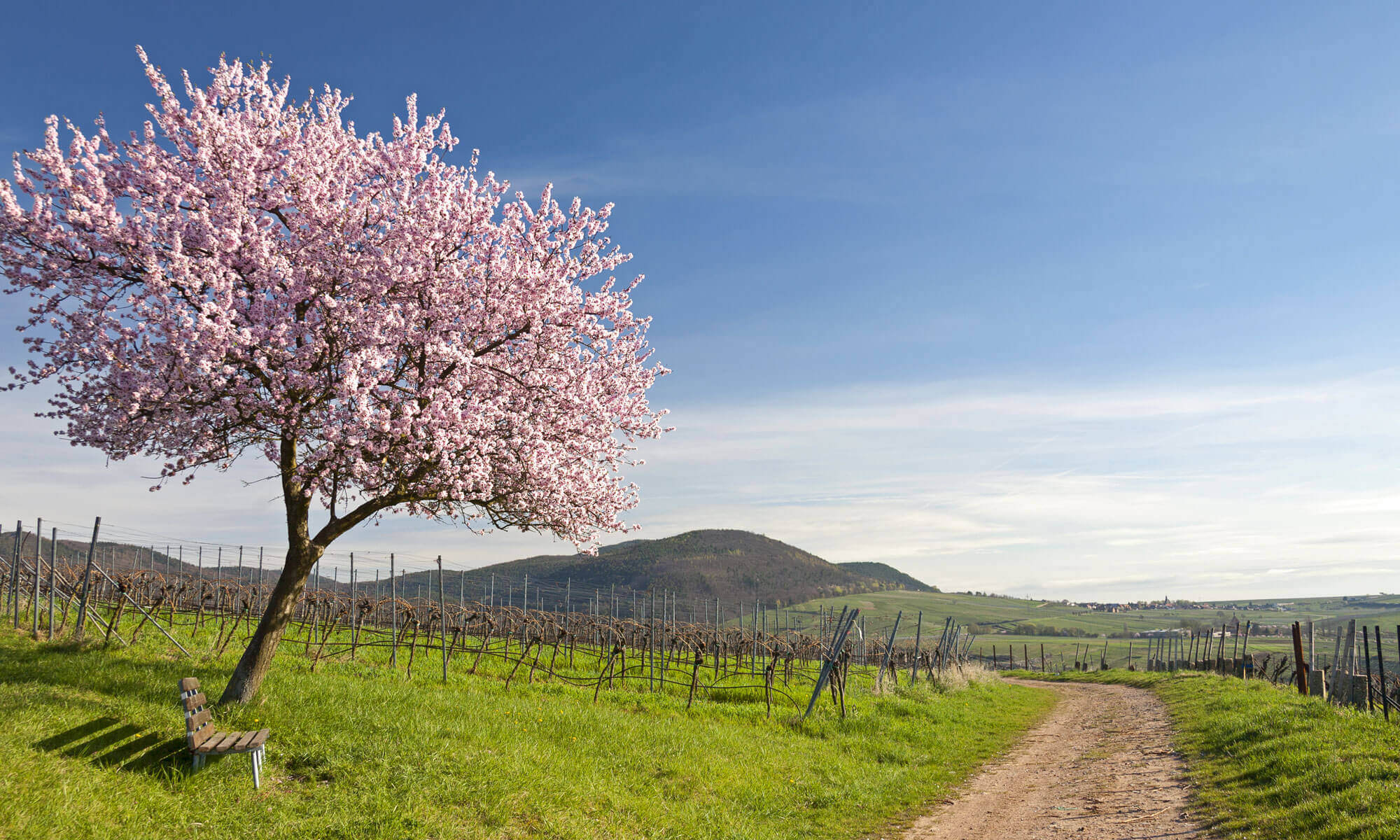 almond blossom in the Palatinate